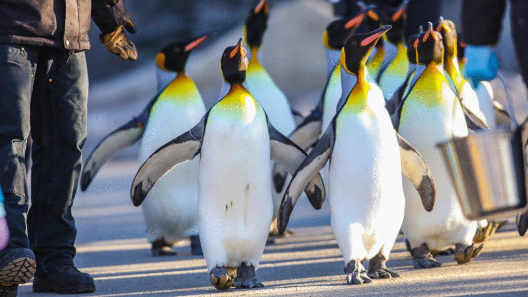 یکپیاده روی خاطره انگیز با پنگوئن ها!