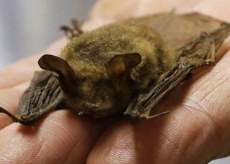 ارتباط خفاش های کانادایی با کرونا چقدر است؟