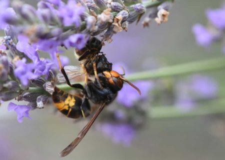 مراقب زنبور قاتل آسیایی باشید!
