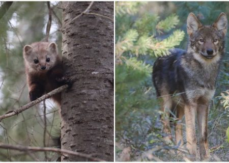 ۳۰۰ گونه حیات وحش اختصاصی کانادا