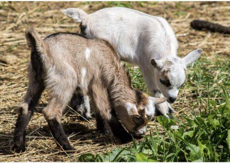 استخدام بز و گوسفند در ارتش