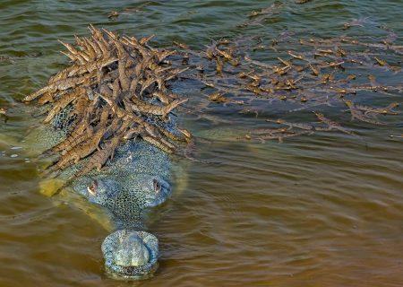 چند تمساح در اين تصوير ميبينيد؟