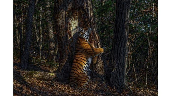تصویر ببر سیبری، برترین عکس سال شد