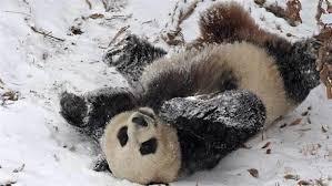سرسره بازی پانداها در برف