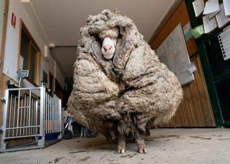 گوسفندی با ۳۵ کیلوگرم پشم