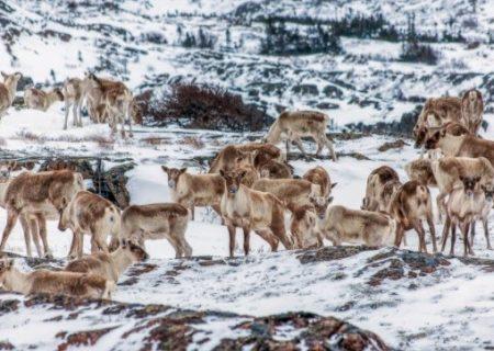 تجربه عکاسی از کاریبوهای کانادا