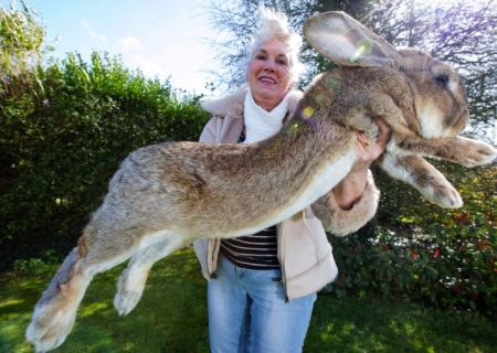 بزرگترین خرگوش دنیا دزدیده شد
