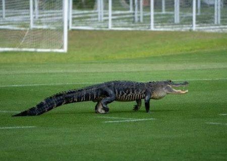 تمساح به زمین فوتبال رفت