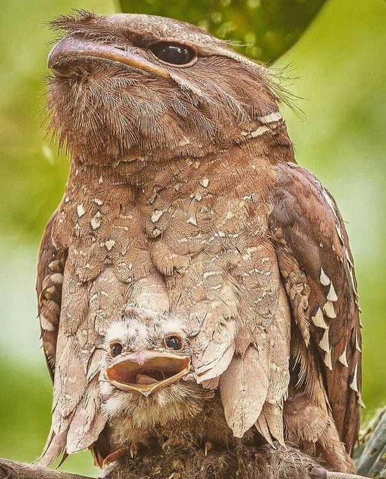 محبوبترین پرنده اینستاگرام: جغد دهان قورباغهای