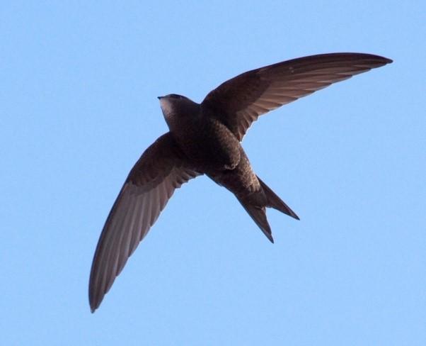سریعترین پرنده جهان