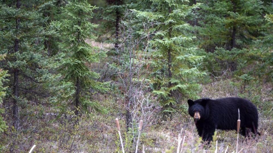 زن آلبرتایی بر اثر حمله یک خرس کشته شد